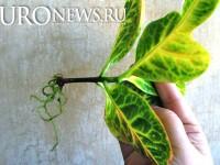 Водный корень кротона может влиять на выработку простатой ПСА