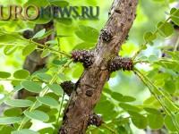 Новый препарат из коры дерева (Phyllanthus engleri) для лечения рака почки
