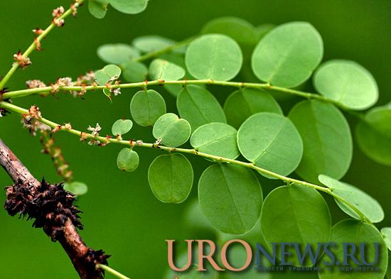 Рак почки лечение препаратами из коры деревьев Phyllanthus engleri