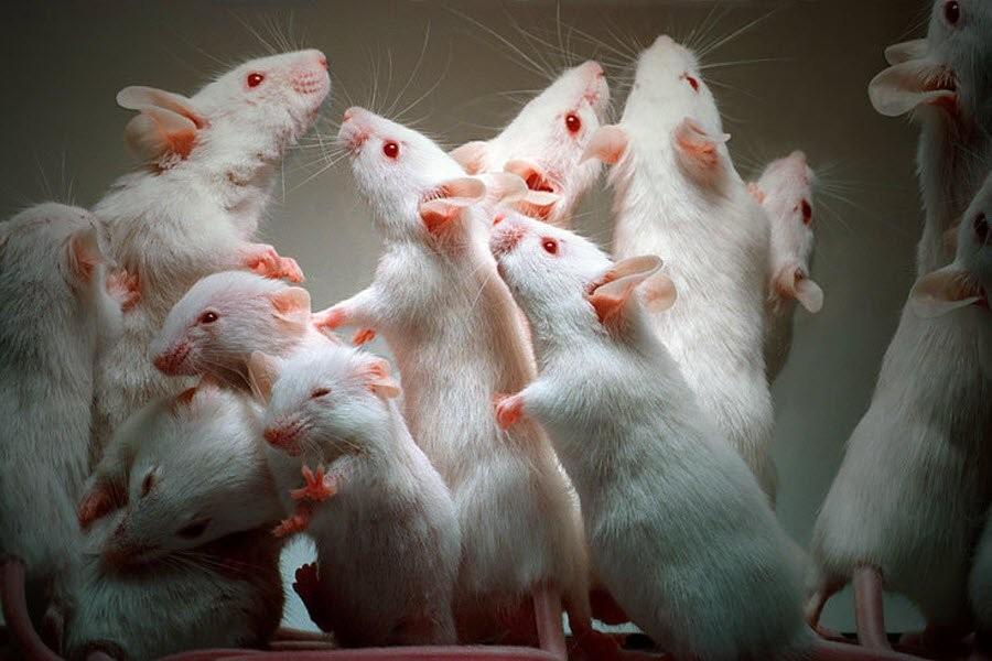 Лечение бесплодия стволовыми клетками на модели крыс с азооспермией