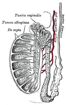 Диагностика мужского бесплодия — Орхосцинтиграфия