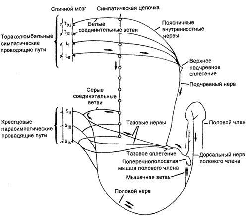 Преждевременное семяизвержение (эякуляция) и энурез, какова связь?