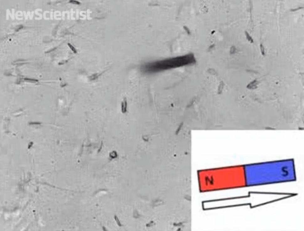 Ученые создали роботизированных сперматозоидов, управляемых магнитами